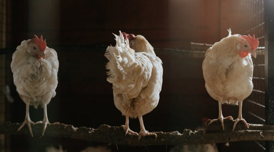 Three White Chickens on Brown Soil