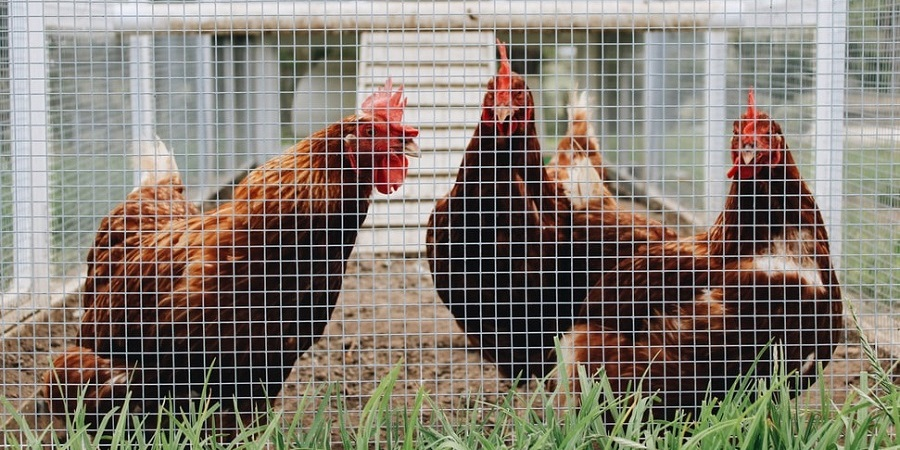 two brown roosters in a coop