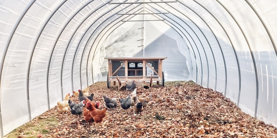 flock of chickens inside a coop