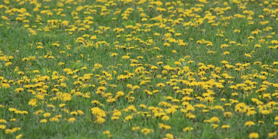 A lawn covered in dandelion and other weeds.