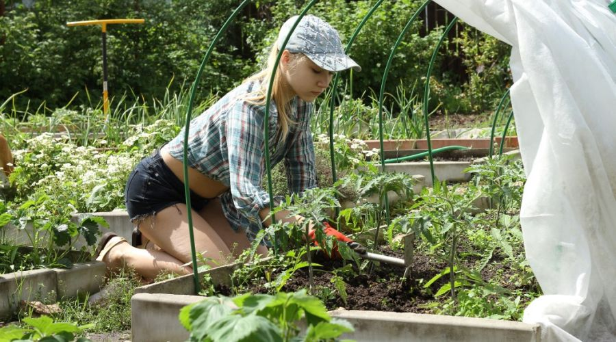 Woman using a hand weeding tool to weed her tomato bed.