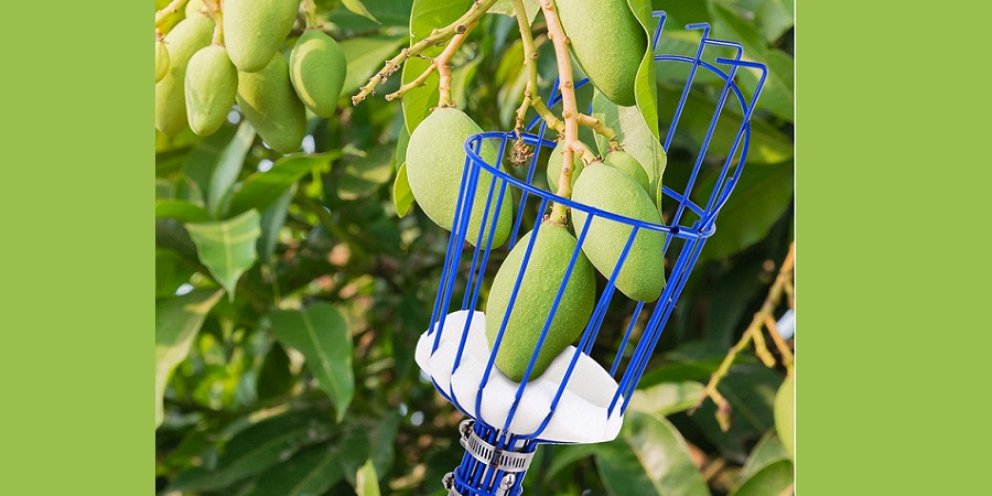 Ohuhu basket picking raw mango