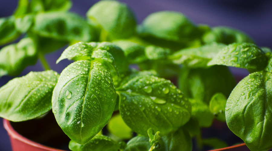 close-up of basil plant in pot