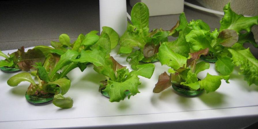 leafy greens growing in an Aerogarden