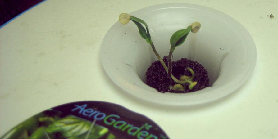 seedling in an open Aerogarden pod