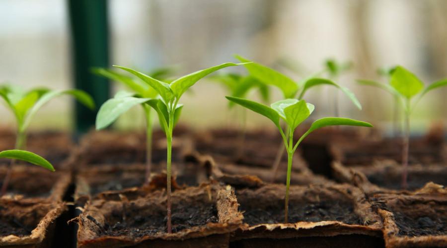 Seedlings in seed starter pots.