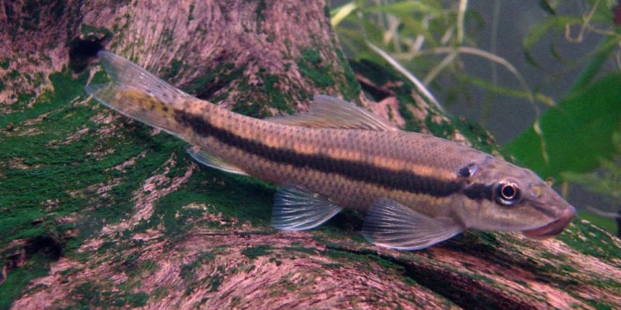 chinese algae eater fish resting on bottom of aquarium