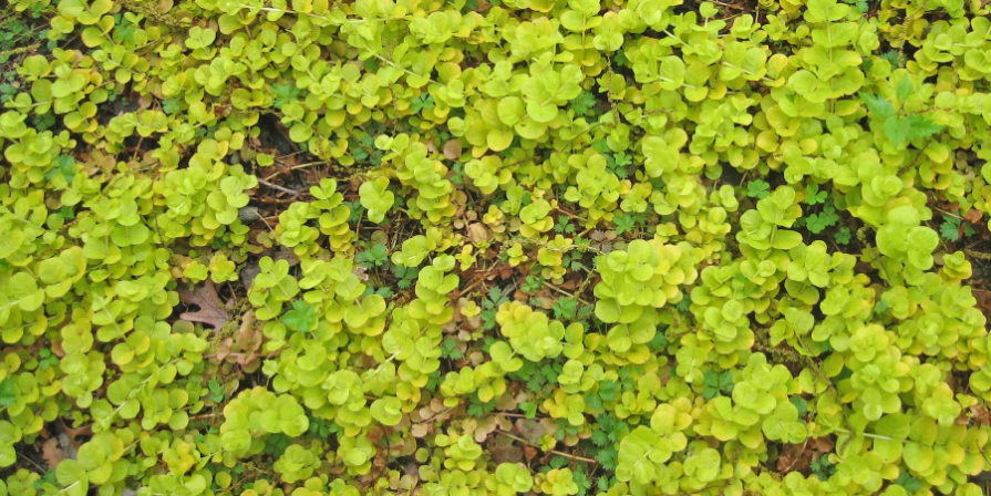 creeping jenny plant carpeting ground