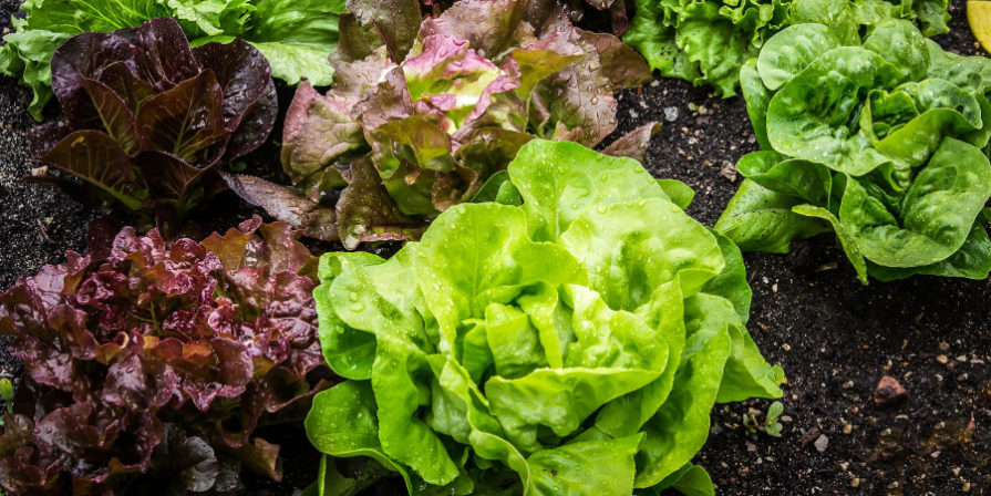 lettuce planted in soil