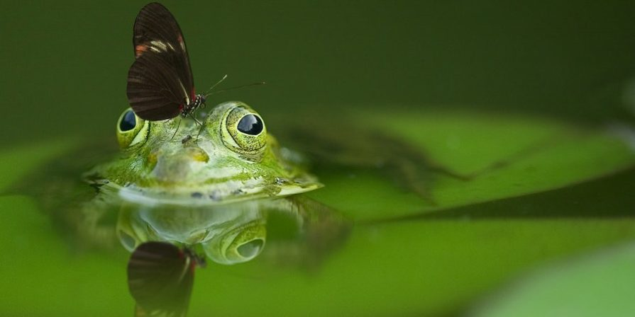 Butterfly Sitting On Frog In Pond