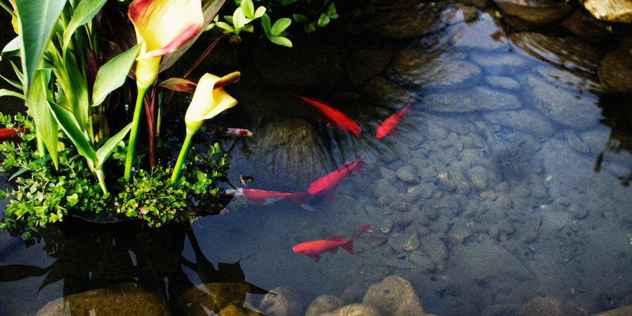 Goldfish In A Fish Pond