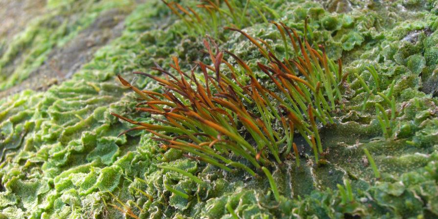 close up of hornwort aquatic plant