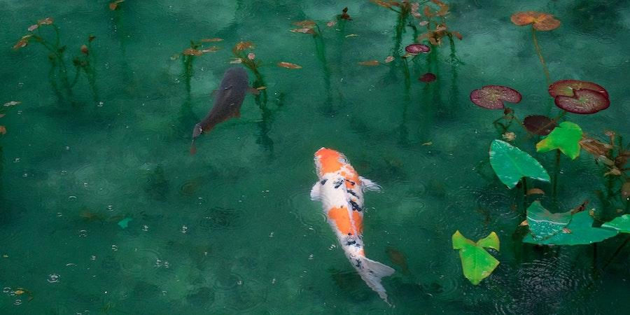 Orange And White Koi In Pond