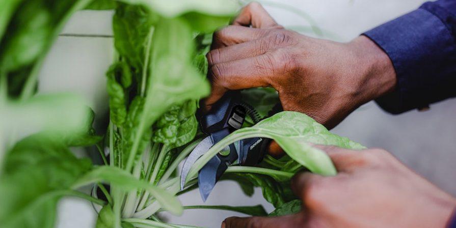 Hands Harvesting Lettuce