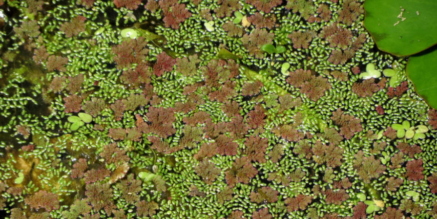 mosquito fern dominating the surface of a pond