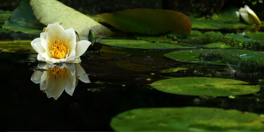 Close-up view of a pond's water surface with water lily and pads swimming on the surface.
