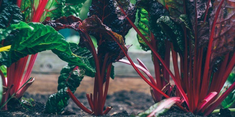 Rainbow swiss chard in ground in a garden bed