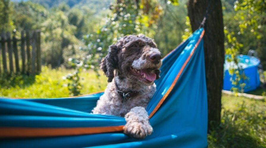 A brown and white wire-haired dog is sitting in a blue hammock with orange trim suspended from trees in a grassy area with an above-ground pool in the distance.