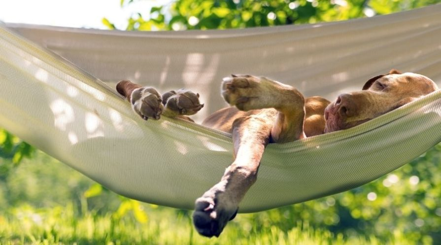 A large brown short-haired dog is laying in a tan colored hammock outdoors on it's side, it's feet hanging out of the hammock and eyes closed.