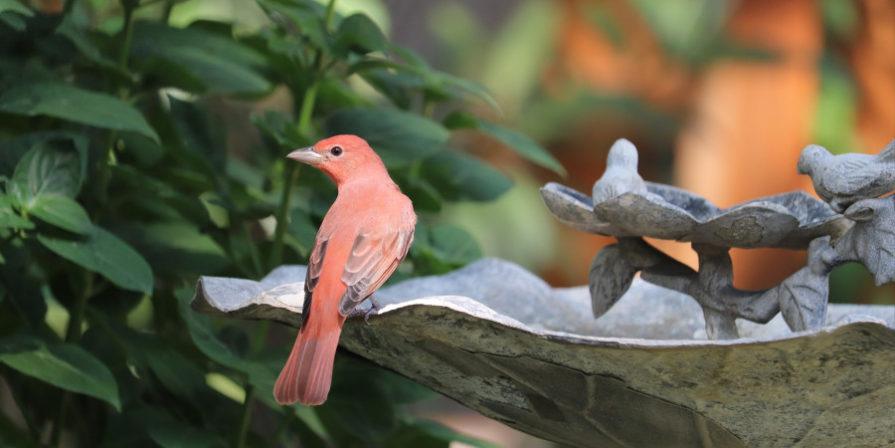 slender red bird sitting on edge of concrete birdbath with bird ornamentation