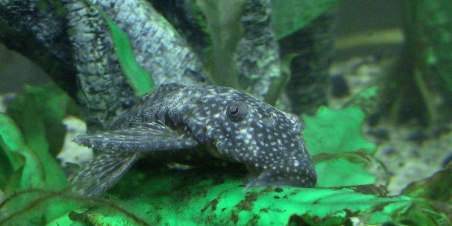 bristlenose pleco fish on leaves in aquarium