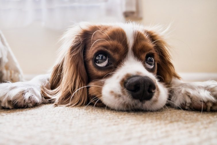 brown and white dog