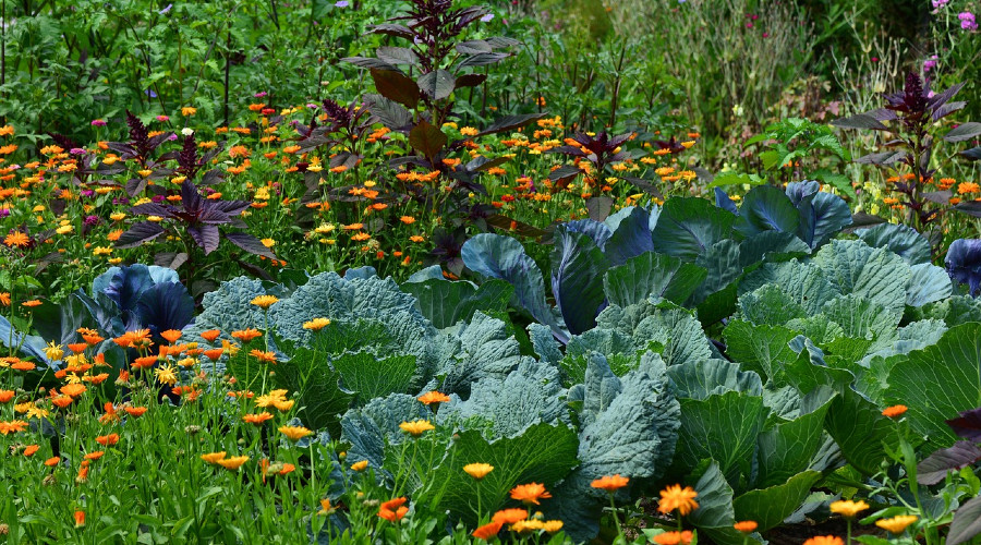 leafy green plants surrounded by marigolds in garden