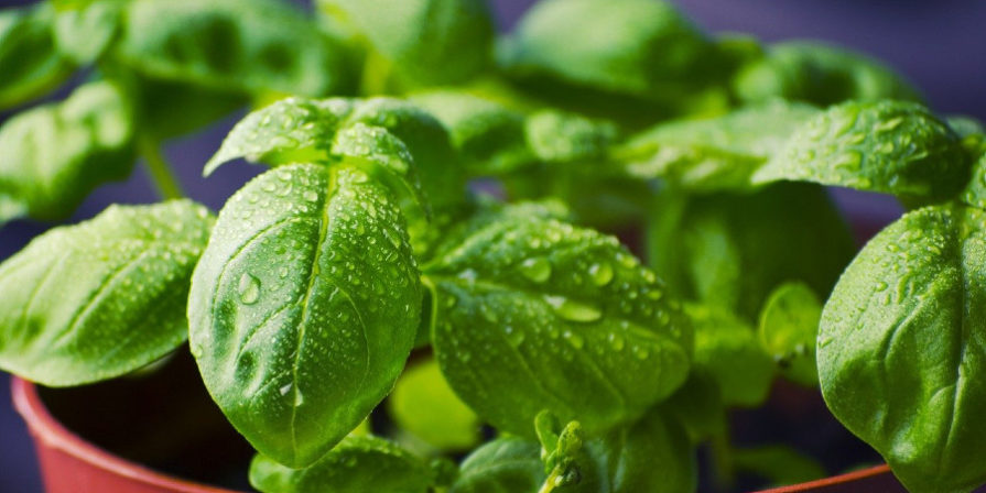 close-up of basil plant growing