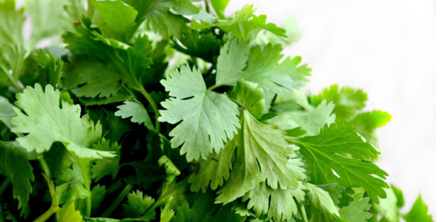 close-up of harvested cilantro