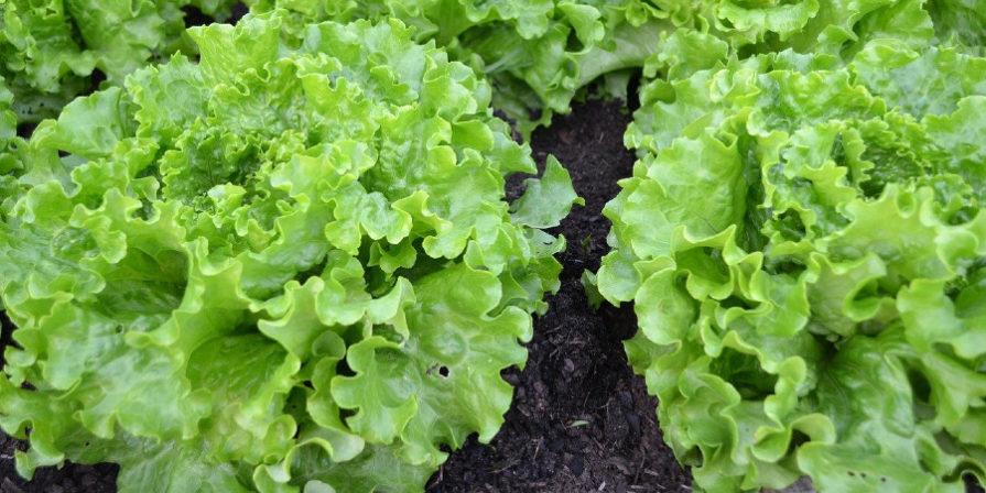 lettuce growing in soil