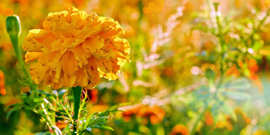close-up of marigold, other marigolds blurred in background