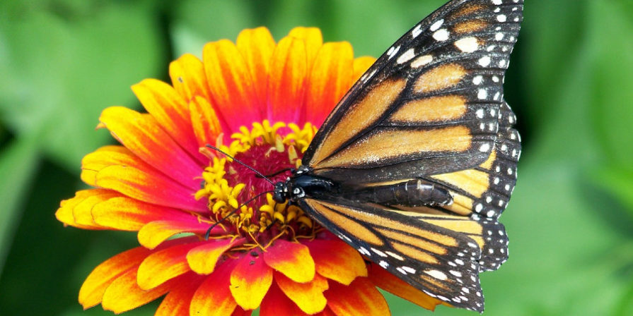close-up of orange and red and yellow zinnia flower with Monarch butterfly sipping nectar