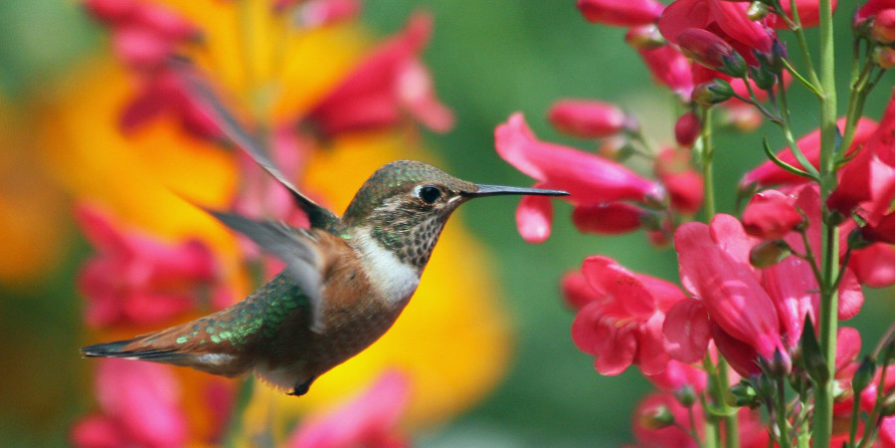 muted green and brown hummingbird sipping nectar from a red flower