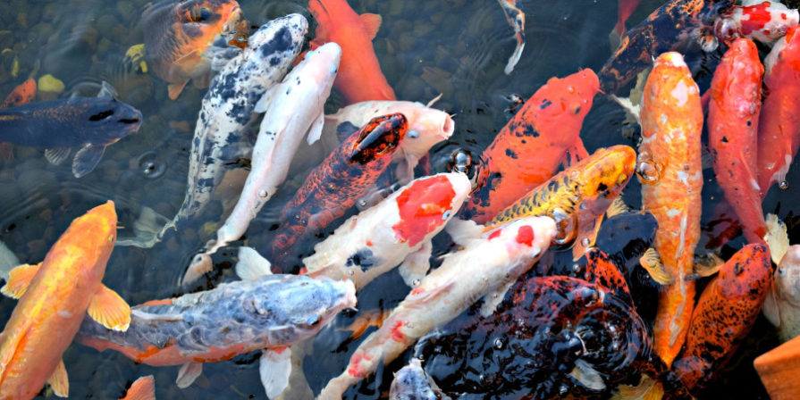 koi fish clustered in pond
