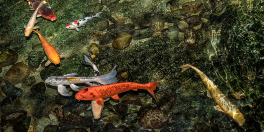 koi fish swimming in clear pond