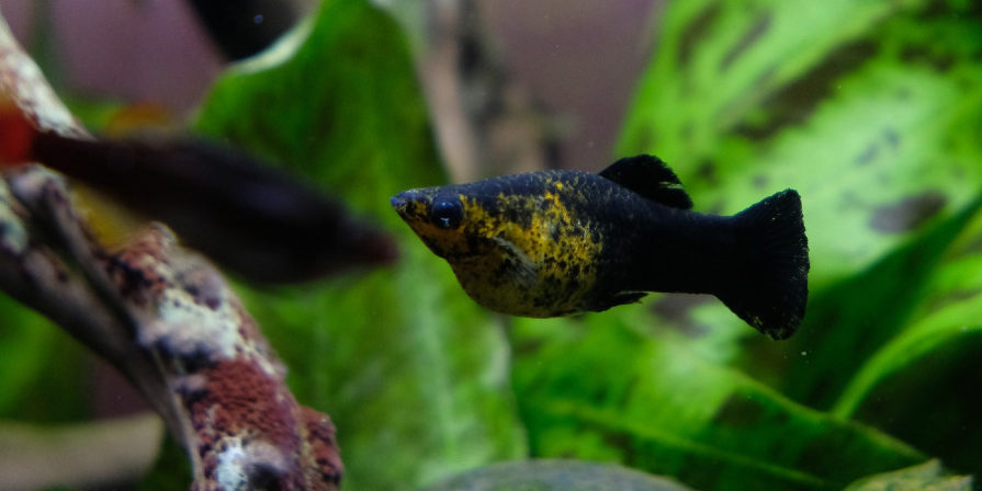 black and yellow molly fish, plants in background