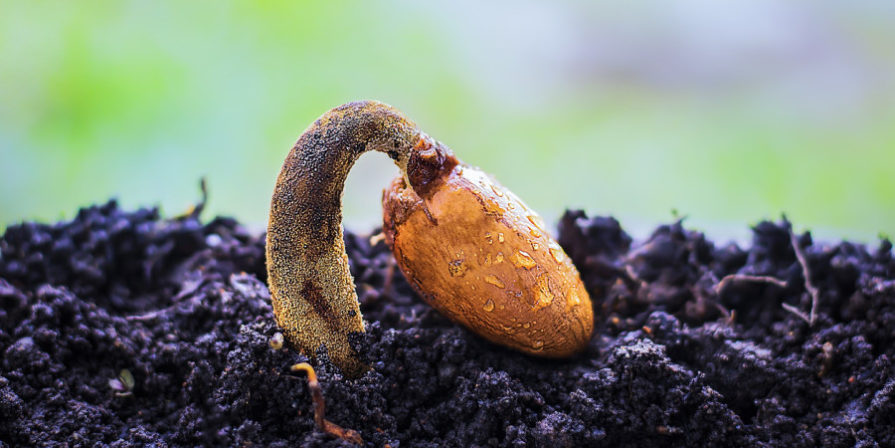 close up of durian seedling in soil