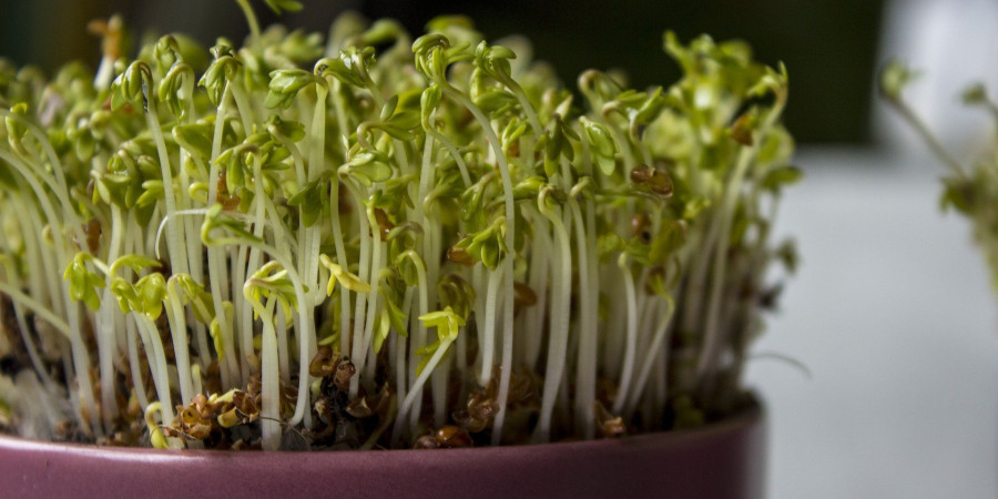 close up of cress growing in pot