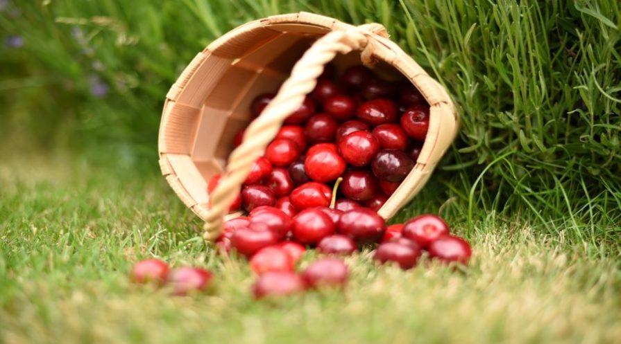 Basket of spilled cherries