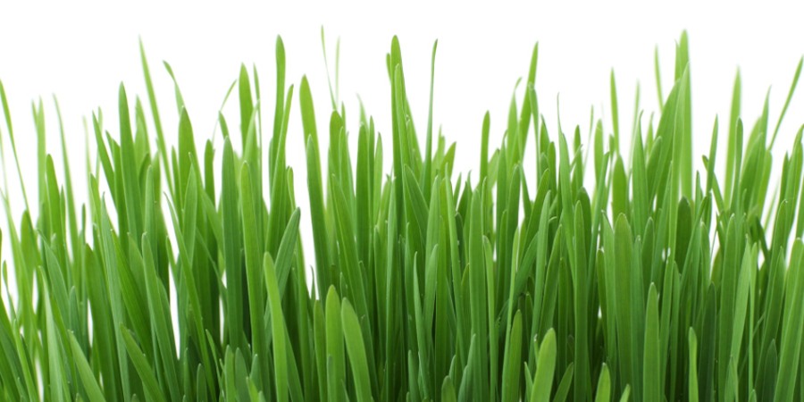 Closeup Grass with White Background