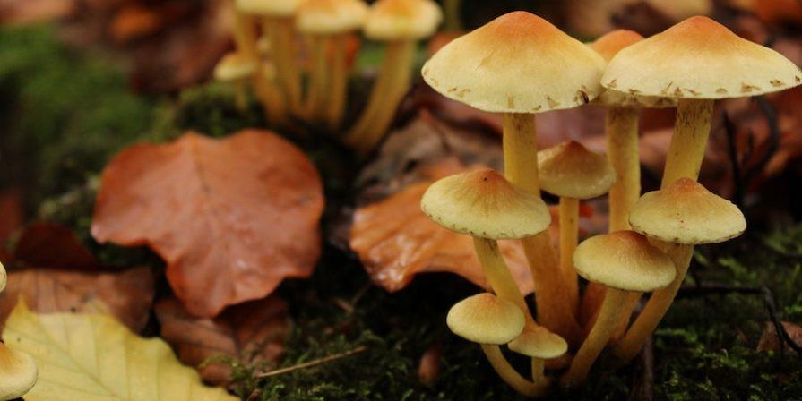 Yellow Mushrooms Growing On Leaves