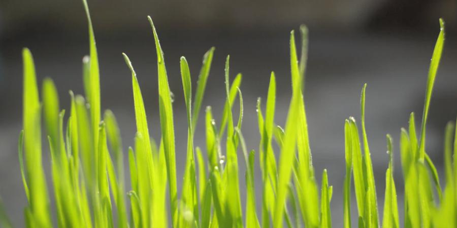 Wet grass closeup