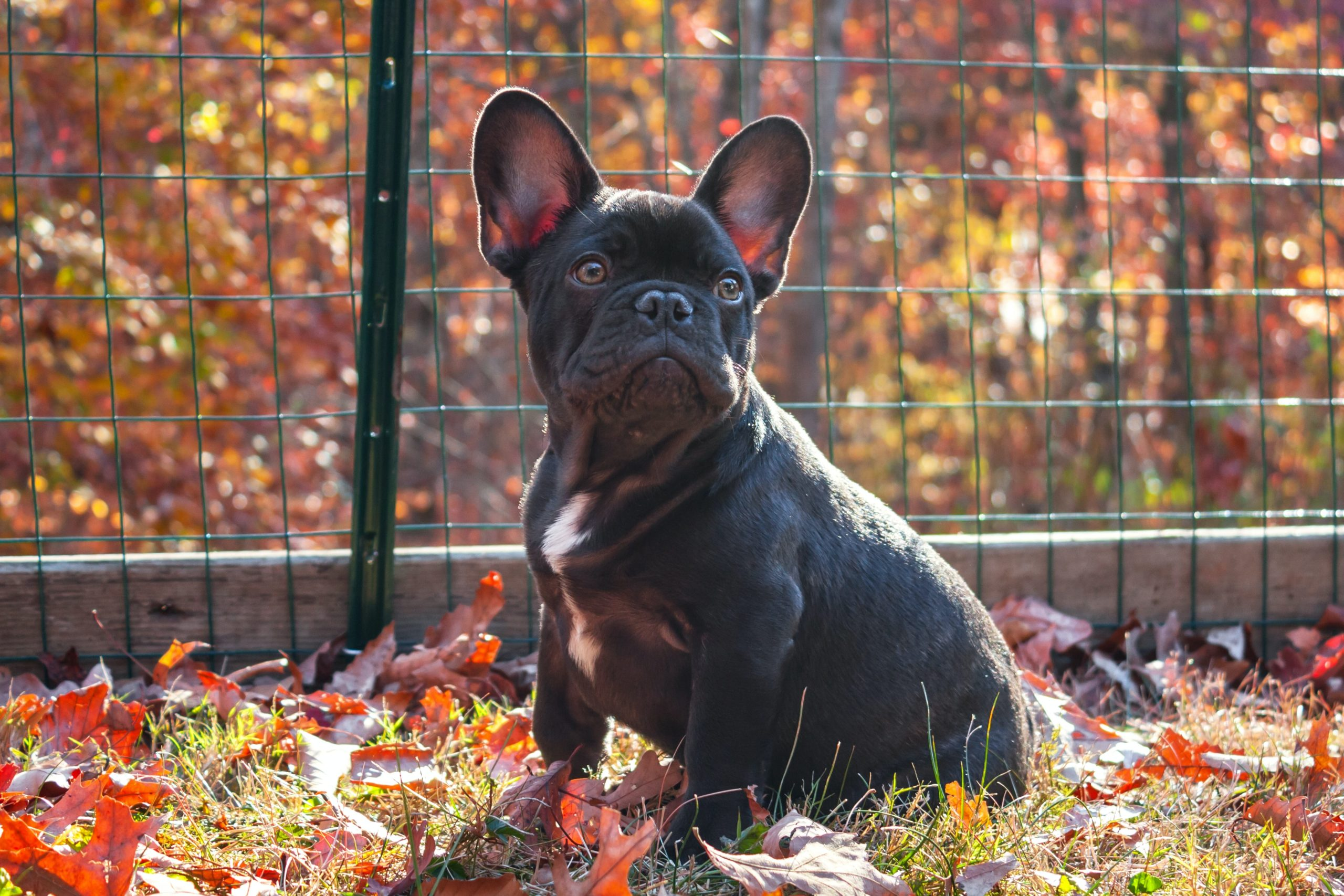 french bulldog sitting in its fence