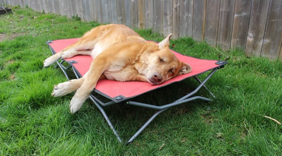 A brown dog laying on a red portable dog bed