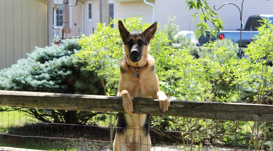 A German Shepherd standing on it's hind legs with it's front legs on a wooden and wire fence