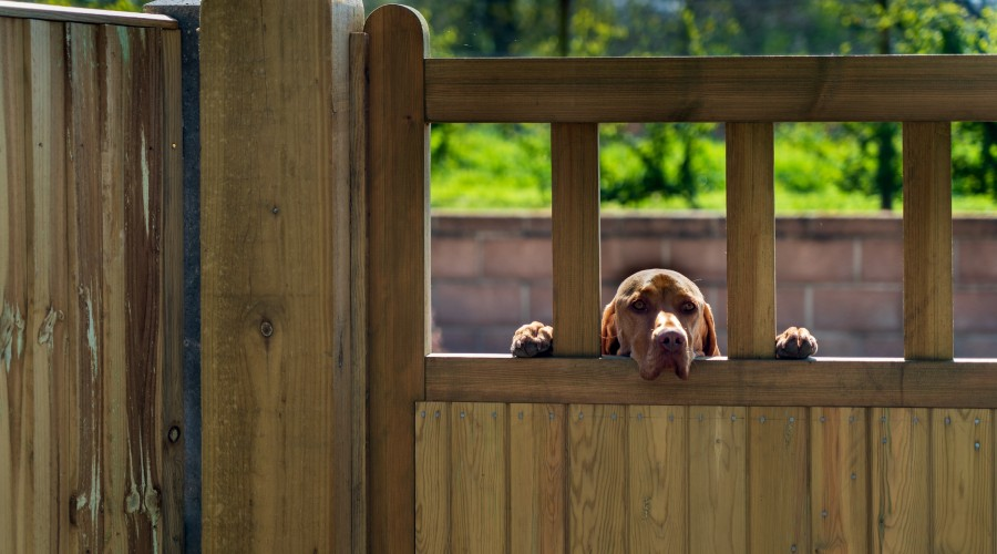 A brown dog with it's front paws up on a wooden fence, looking over the fence