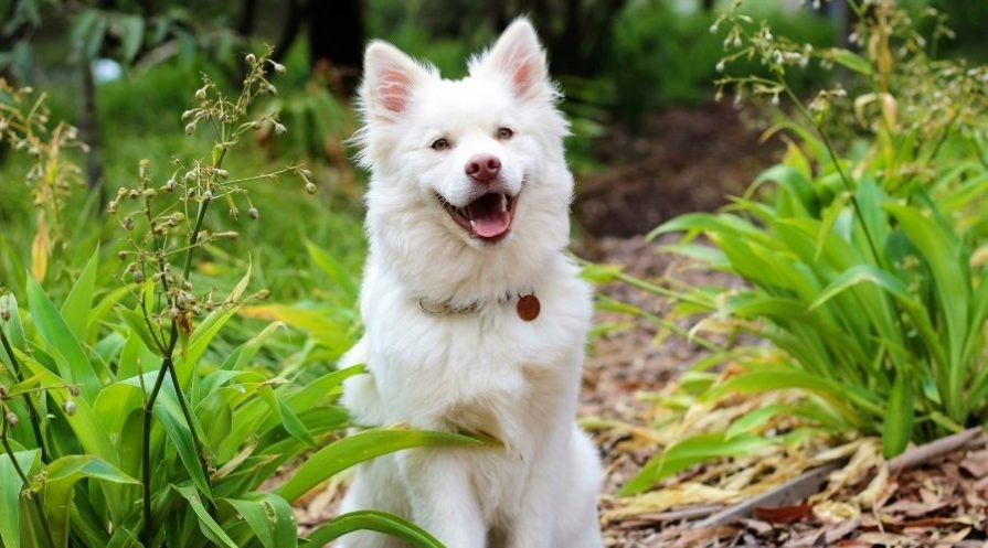A white dog sitting outdoors surrounded by vegetation