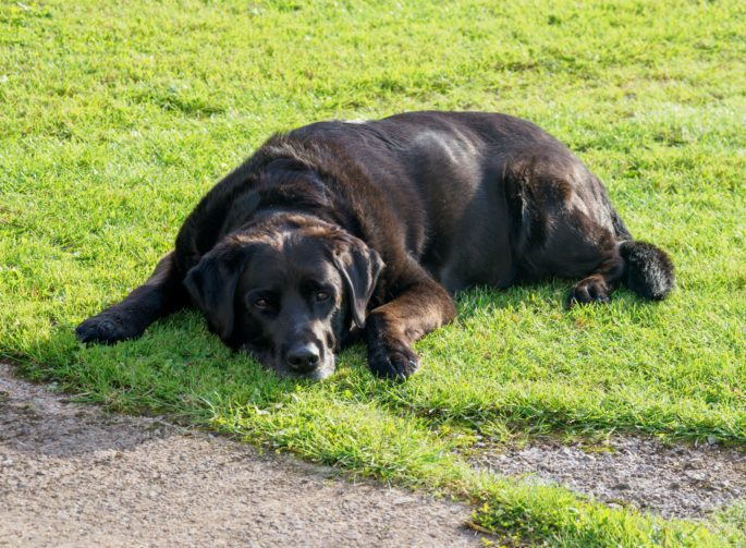 black dog lying down on the grass and looking into camera