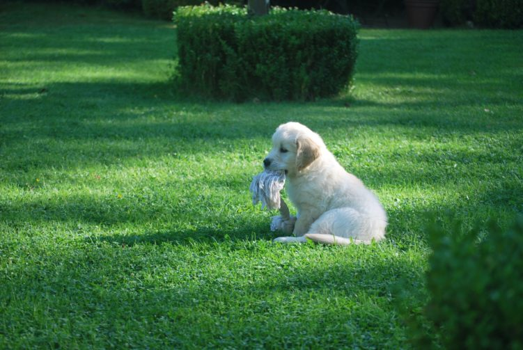Short coated white puppy sitting on the grass