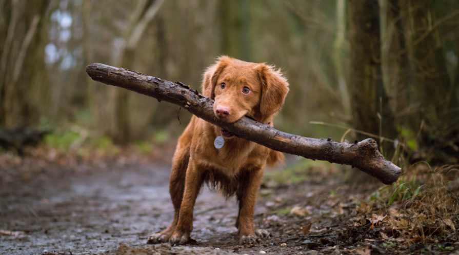 Brown dog carrying large stick through woods